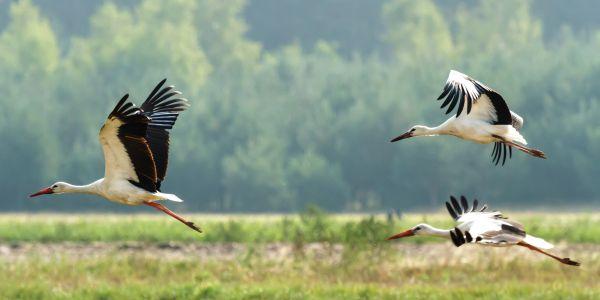 Three storks flying over a marsh. (Shutterstock)